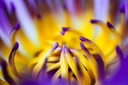 Macro du lotus Banque d'images - 27566883