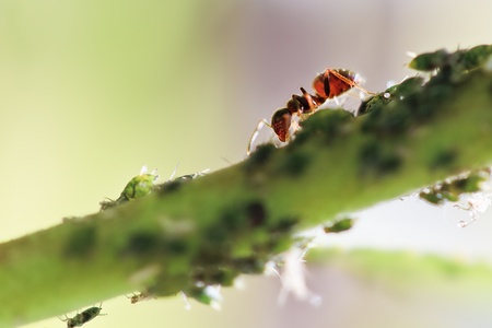 Red ant taking care of his louses on a warm and sunny day photo