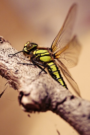 Big dragonfly, macro shot Stock Photo - 9953665