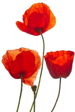 poppy leaf: corn poppys isolated on white Stock Photo