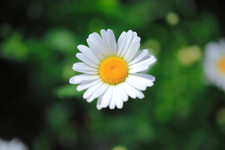 Roman chamomile flower close-up