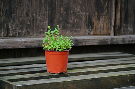 Potted mint plant, closeup