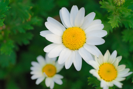 Roman chamomile, close-up