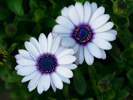 Osteospermum ecklonis, close-up 版權商用圖片 - 114661553