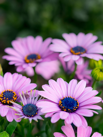 Osteospermum ecklonis, close-up