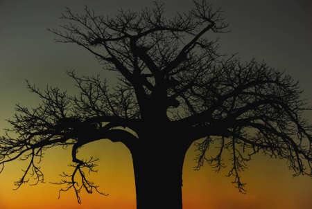 digitata: Boabab (adansonia digitata) tree, Africa, etched against sunset Stock Photo