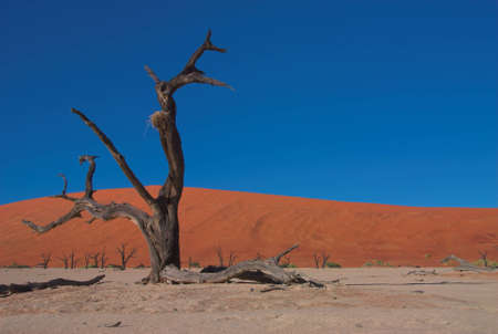 driftwood: Red dunes and dead trees in Dooie vlei, Namibia