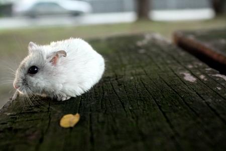 detai: Winter Pearl Hamster  Djungarian hamster
