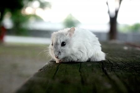 겨울 펄 햄스터 Djungarian 햄스터