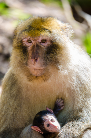 Macaque monkey mother with baby Stock Photo