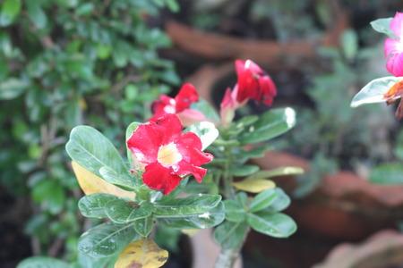 rose of the desert: rosa del deserto in giardino