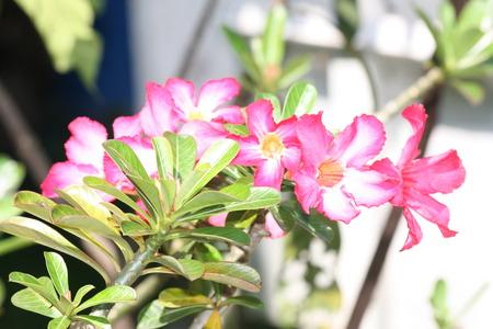 desert rose: desert rose in the garden