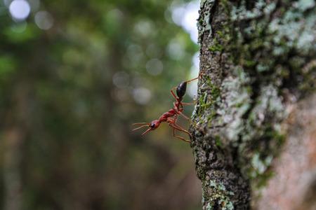 red ant: Hormiga roja mira hacia fuera de �rbol
