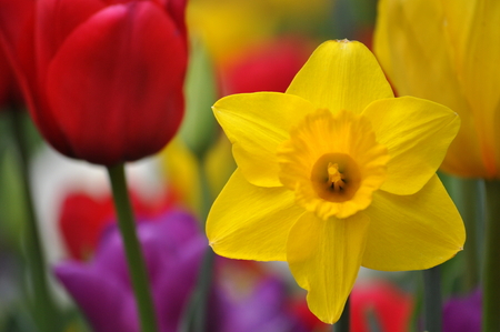 red tulip: Yellow daffodil with red tulip in foreground Stock Photo