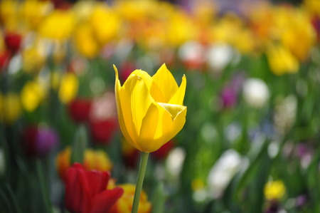 floriade: Yellow Tulip on blurred flower coloured background -Floriade