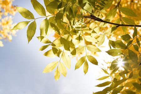 feuilles arbres: Les feuilles des arbres illumin�s par le soleil sur le ciel bleu