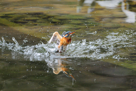 kingfisher: Common kingfisher fishing