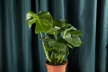 a potted green monstera deliciosa plant on a green curtain background. Gradient colors. Minimal color still life photography.