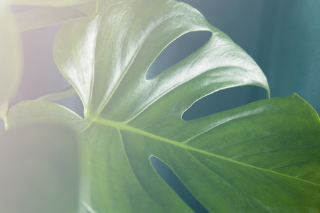 Close-up with vintage effect of a leaf of monstera deliciosa plant leaf in front of a curtain of the same color. Gradient colors. Minimal color still life photography.