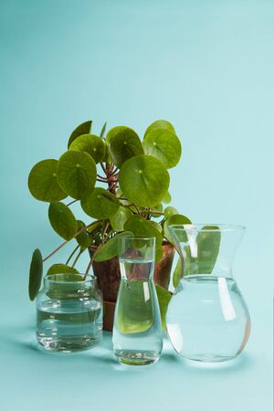 3 transparent glass vases filled with clear water in front of a potted pilea peperomioide plant on a turquoise background. Play of light and transparency. Minimal still life color photography