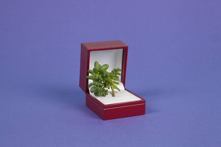 a ring box containing a young shoot of a succulent plant as a metaphor for nature's preciousness on a purple background. Minimal color still life photography.