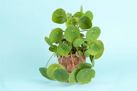 Pilea peperomioides, znana również jako chińska roślina pieniędzy, izolowana na turkusowym tle. Letnia atmosfera. Minimalna kolorowa fotografia martwej natury Zdjęcie Seryjne