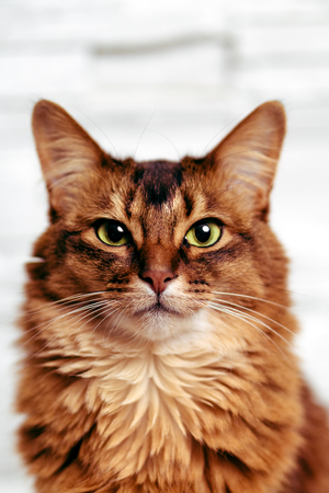 rudy: Headshot portrait of a beautiful ruddy somali female cat staring directly at the camera. Stock Photo