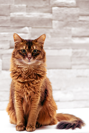 Full body sitting somali cat pet portrait on white background.