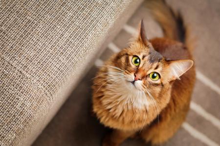 rudy: Purebred ruddy somali cat looking up staring at the camera.