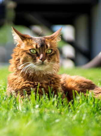 rudy: Beautiful somali cat lying on the grass, looking in the distance. Stock Photo