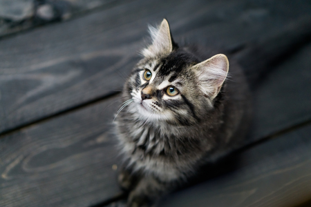Cute tabby kitty looking up. This adorable domestic pet has a beautiful soft tabby pattern fur coat. The small young cat is sitting on a dark wooden background.