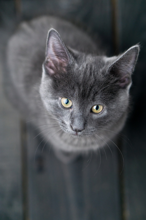 Cute grey kitty looking up. This adorable domestic pet has a beautiful soft grey fur coat. The small young cat is sitting on a dark wooden background.