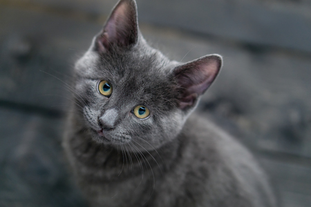 Cute grey kitty looking directly at the camera. This adorable domestic pet has a beautiful soft grey fur coat. The small young cat is sitting on a dark wooden background.