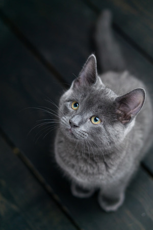 Charming grey kitty looking up. This adorable domestic pet has a beautiful soft grey fur coat. The small young cat is sitting on a dark wooden background. Stock Photo