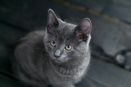 Cute grey kitty looking to the side. This adorable domestic pet has a beautiful soft grey fur coat. The small young cat is sitting on a dark wooden background.