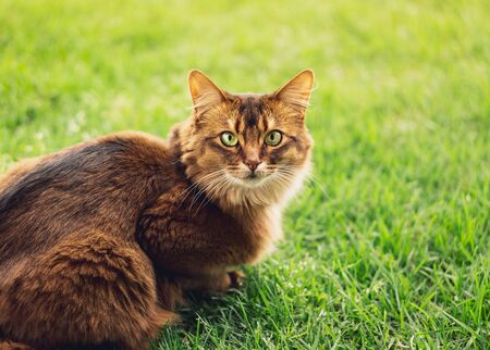Purebred somali cat in the grass outside. The Somali cat breed is a beautiful domestic feline. They are smart, very social and they enjoy playing outside. These cute cats are ideal family pets.