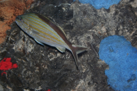 pebles: A carribian fish