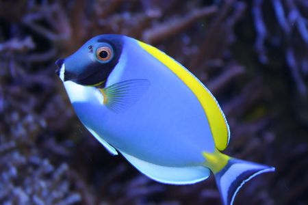 pebles: A bright carribian fish