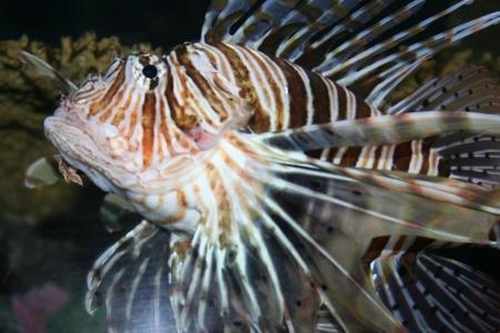 pebles: A striped fish