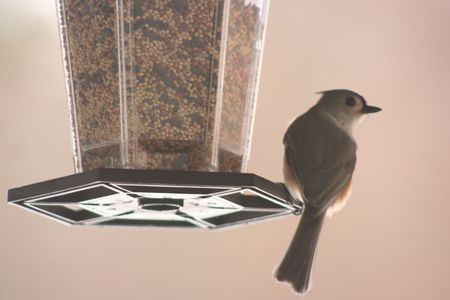 full suspended: A bird gatherind seed