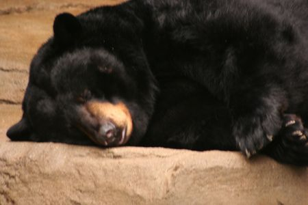 hibernate: A sleeping black bear Stock Photo