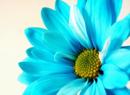 Blue daisy photo