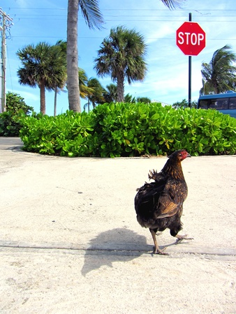 green cross: A wild chicken crossing the street  Stock Photo