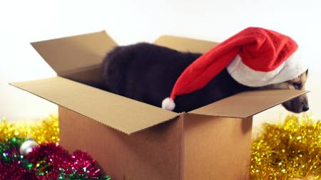 Cute puppy sits in gift box with Christmas and New Year decorations.