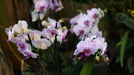Beautiful blooming orchid flower in the garden with natural green floral background. Amazing plants for postcard and agriculture design with space for text. Phalaenopsis orchid. Reklamní fotografie