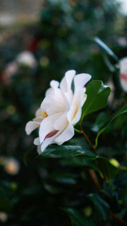 Vertical blooming camellia flowers in an old English park Nature 스톡 콘텐츠