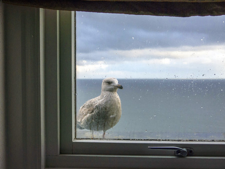 tenby wales: Sea gull perched outside a hotel window in Tenby looking in