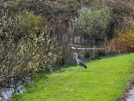 Heron standing alongside lake looking for food Stock Photo