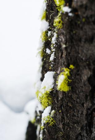 Tree Moss Close-up