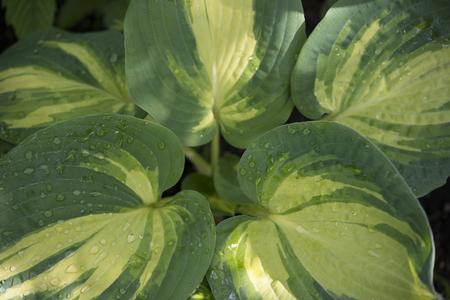 hosta: Hosta Leaves Stock Photo